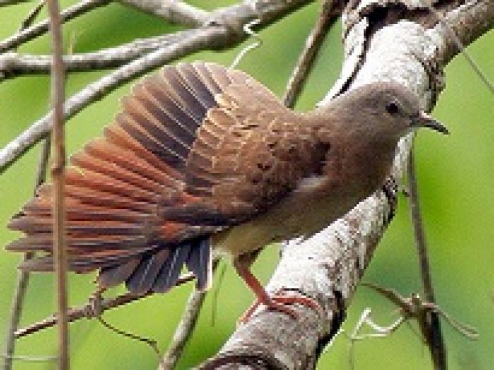 Ruddy Ground-Dove2