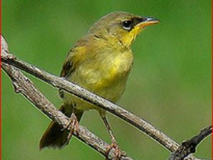 Gray-crowned Yellowthroat3