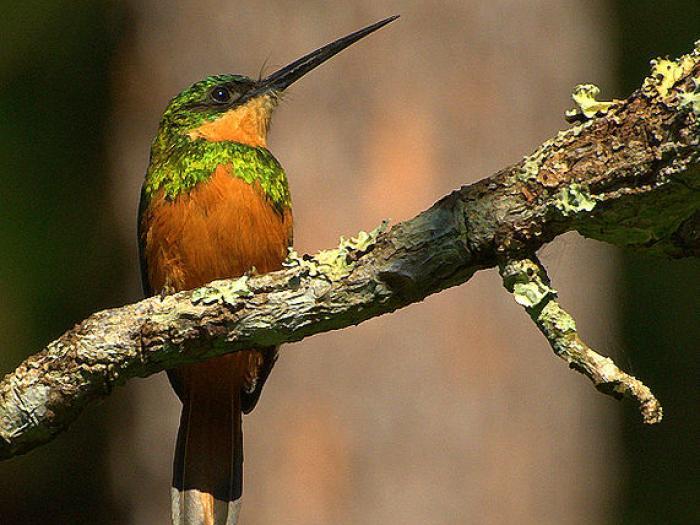 Rufous-tailed Jacamar2