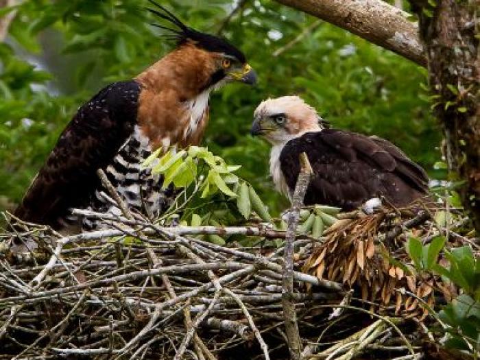 Ornate Hawk-Eagle2