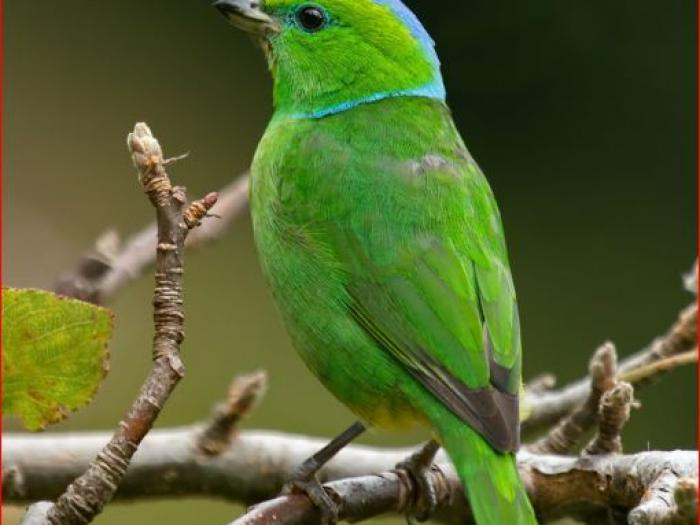 Golden-browed Chlorophonia3