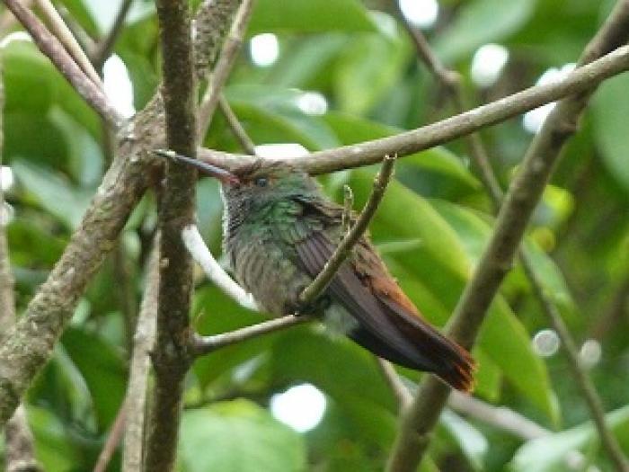 Rufous-tailed Hummingbird2
