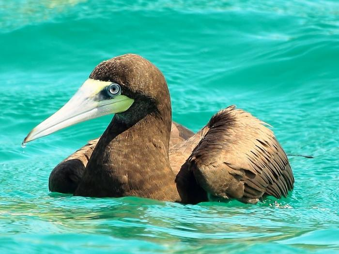 Brown Booby2