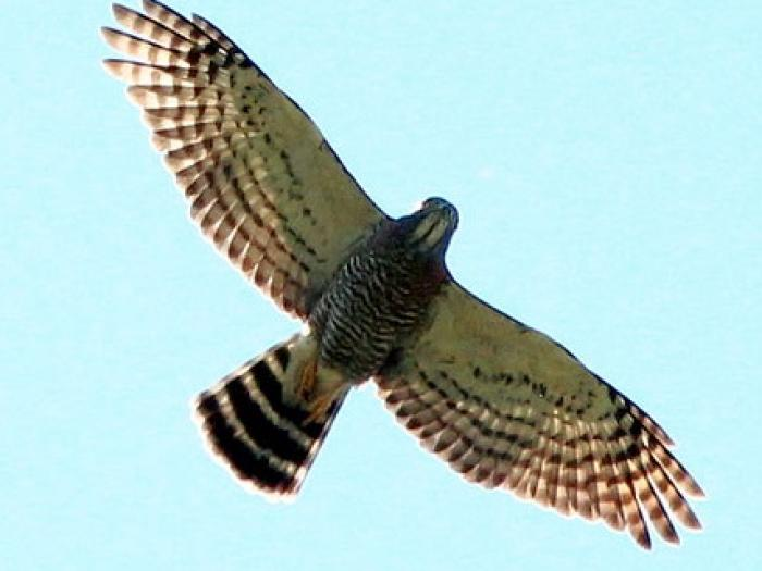 Double-toothed Kite3