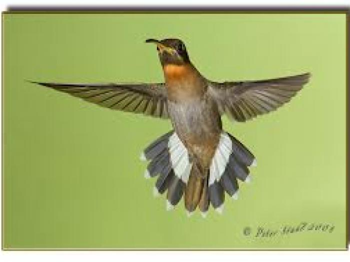 Band-tailed Barbthroat2