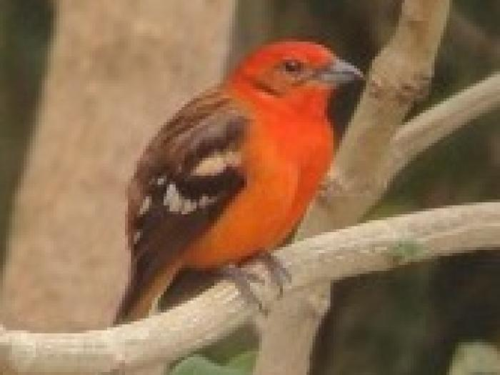 Flame-colored Tanager2