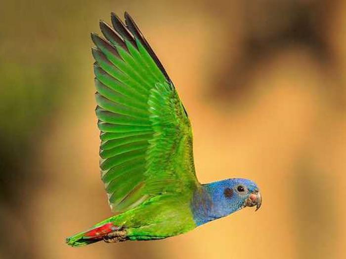 Blue-headed Parrot3