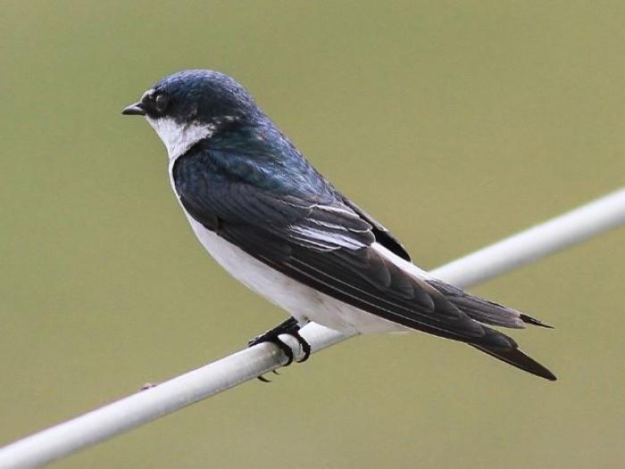 Mangrove Swallow2