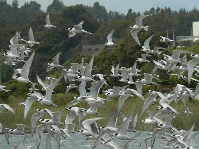 Common Tern4