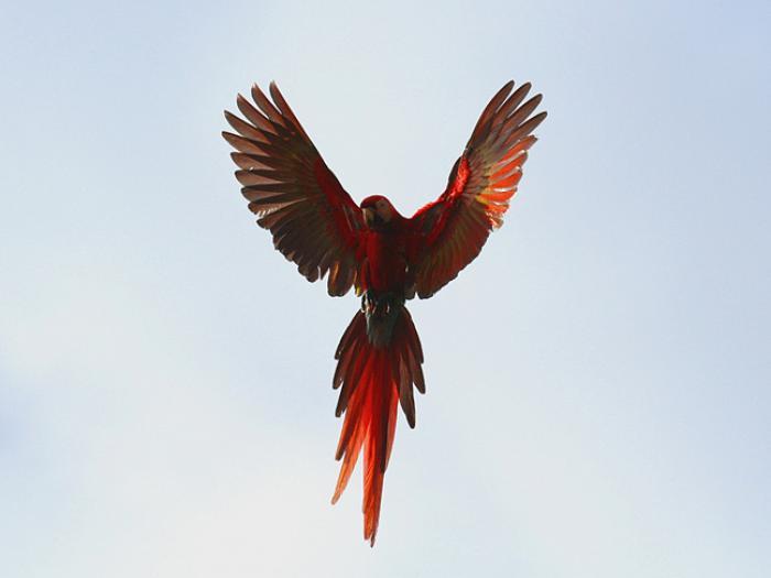 Scarlet Macaw4