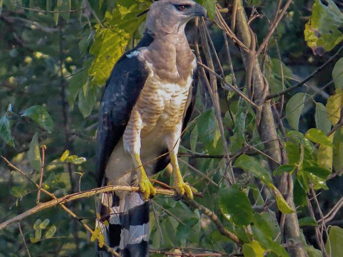 Crested Eagle3