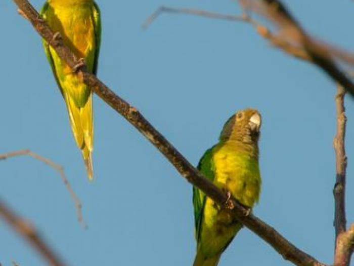 Brown-throated Parakeet2