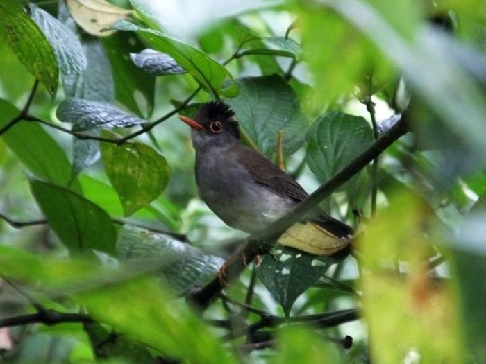 Black-headed Nightingale Thrush