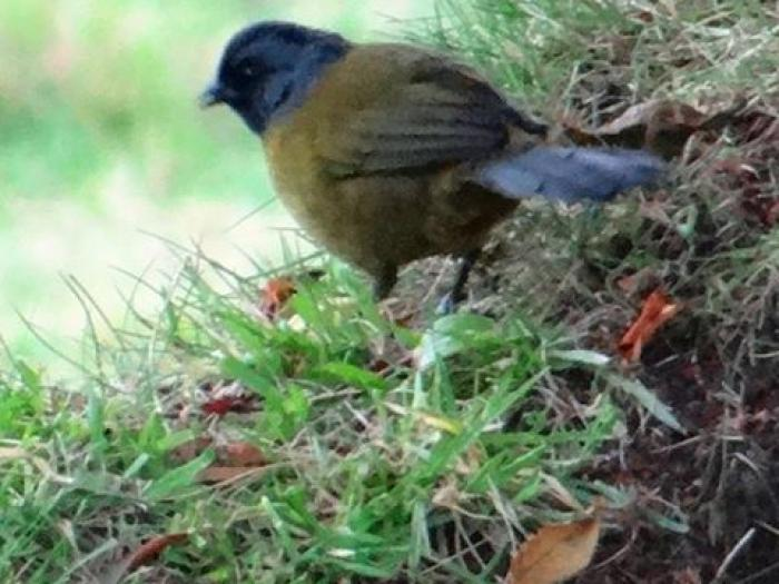 Large-footed Finch2