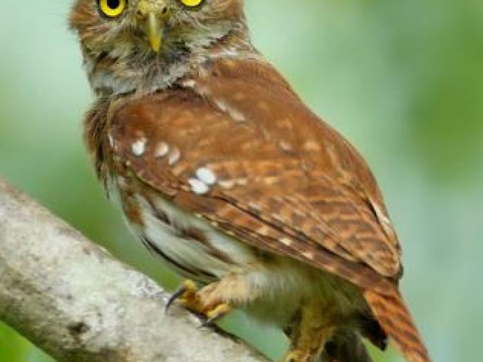 Ferruginous Pygmy-Owl3