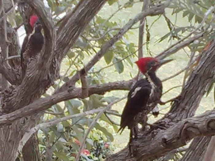 Lineated Woodpecker3