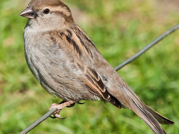 House Sparrow3
