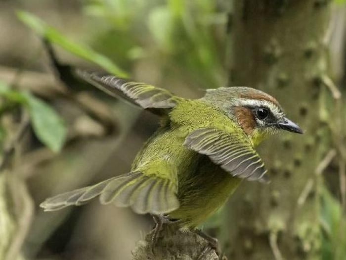 Rufous-capped Warbler4