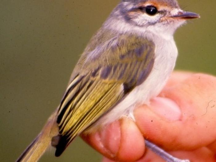 Rufous-browed Tyrannulet3