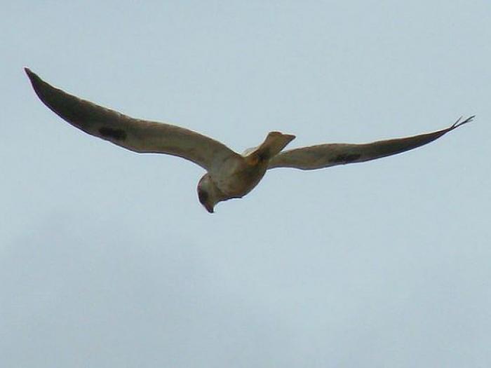 Pearl Kite3