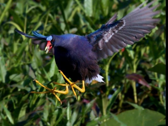 Purple Gallinule4