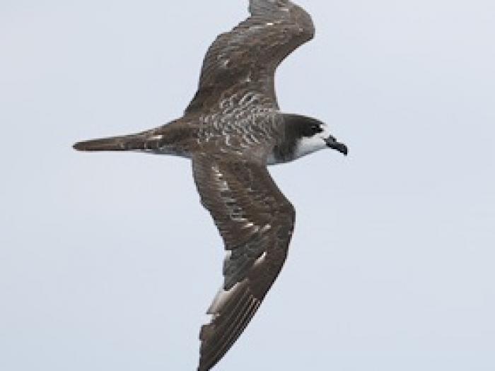 Galapagos Petrel4