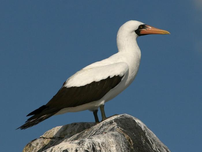 Masked Booby4