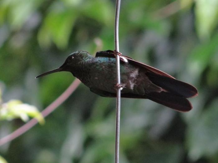 Green-crowned Brilliant2