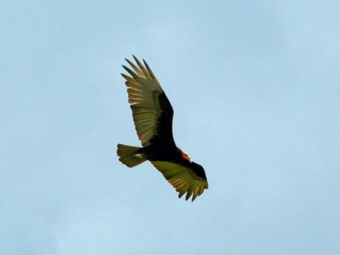 Lesser Yellow-headed Vulture3