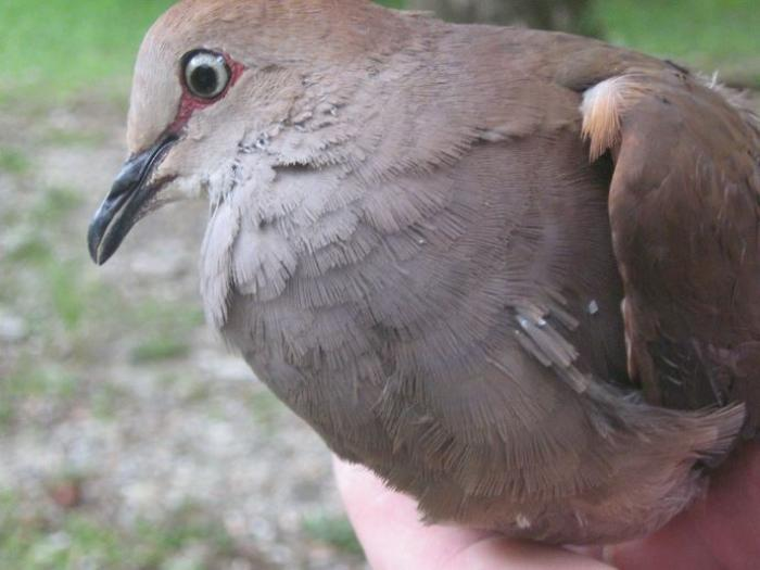 Gray-chested Dove3