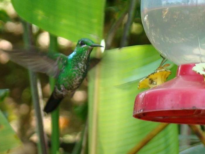 Green-crowned Brilliant3