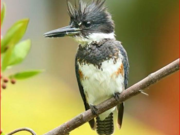 Belted Kingfisher3