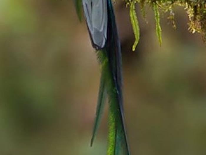 Resplendent Quetzal4