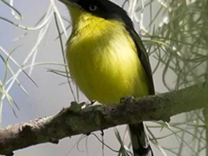 Common Tody-Flycatcher