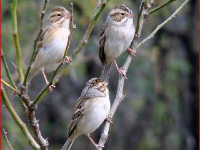 Clay-colored Sparrow4