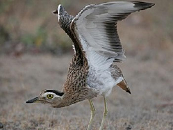 Double-striped Thick-Knee2