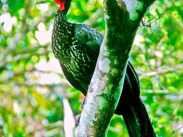 Crested Guan3