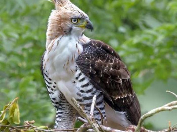 Ornate Hawk-Eagle3
