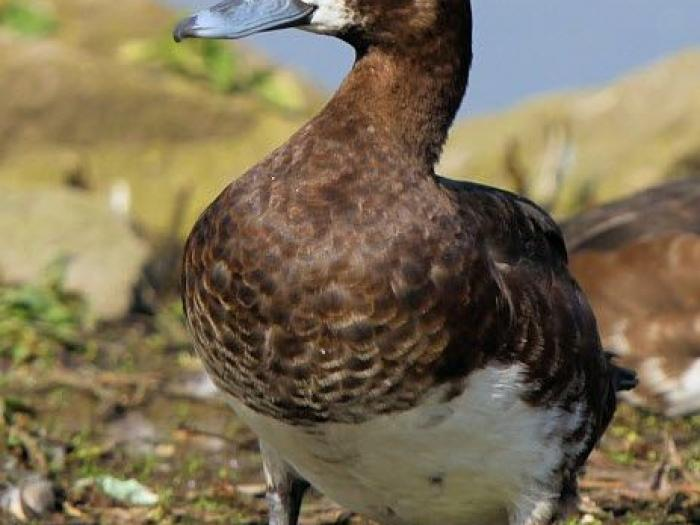 Greater Scaup4