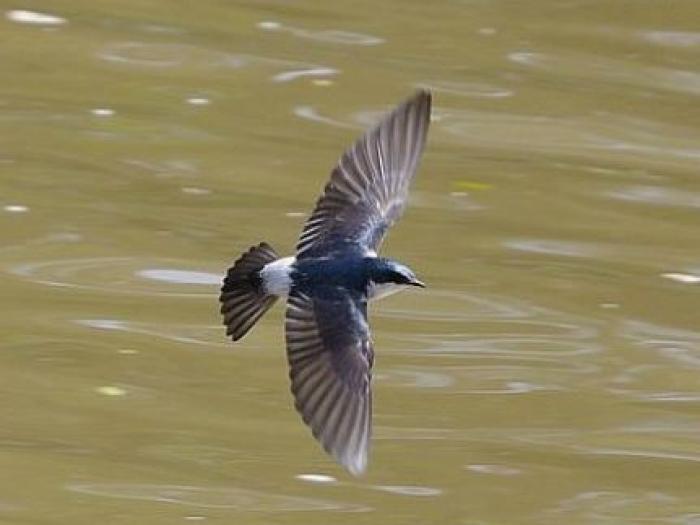 Mangrove Swallow3