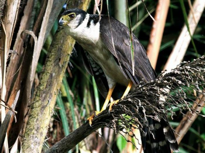 Collared Forest-Falcon3