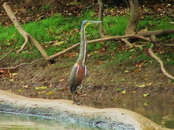 Bare-throated Tiger Heron2