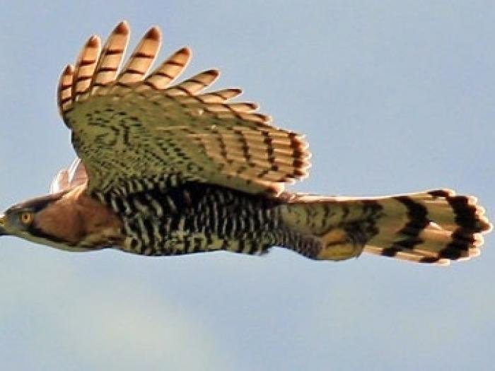 Ornate Hawk-Eagle4