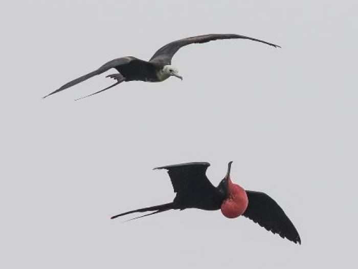 Magnificent Frigatebird2