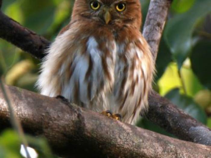 Ferruginous Pygmy-Owl2