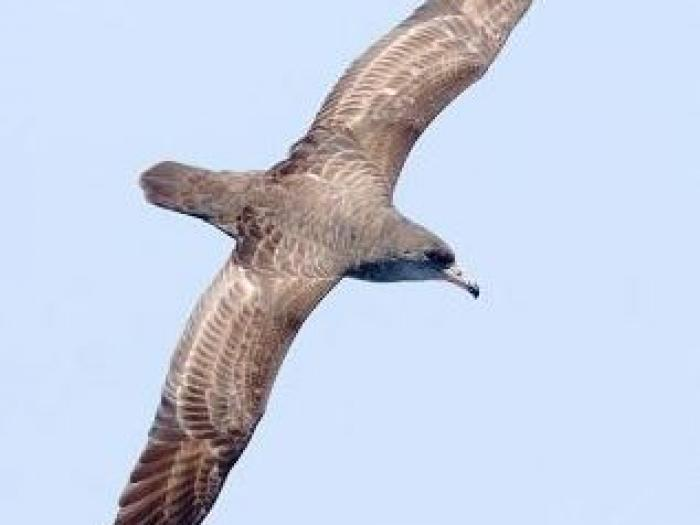 Pink-footed Shearwater2