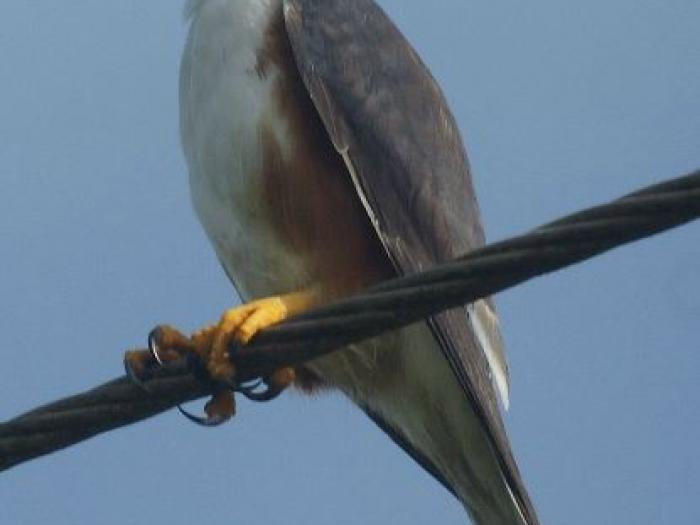 Pearl Kite2