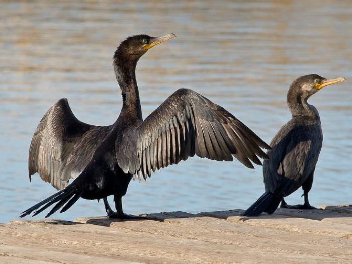 Neotropic Cormorant3