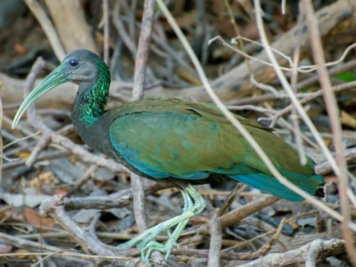 Green Ibis4