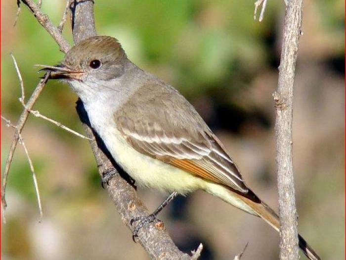 Ash-throated Flycatcher4